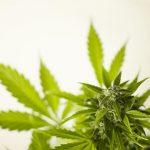 Informacje o wyrobach do uprawiania marihuany